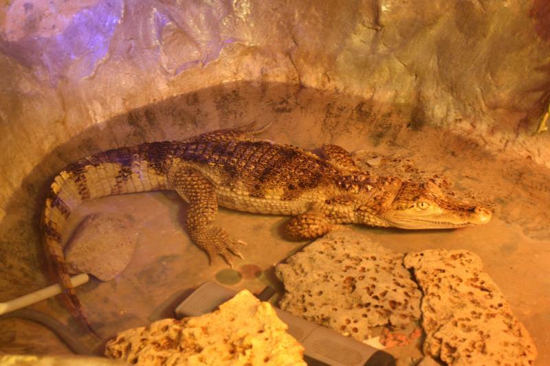 Крокодил в Евпаторийском Аквариуме